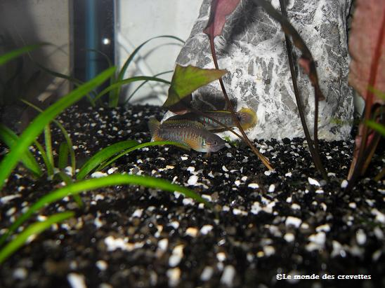 Mes Tateurndina ocellicauda 20090923_2-135e59a