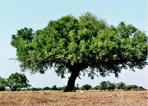 أركان شجرة فريدة من نوعها L_huile_d_argan_imagelarge-1--8c05e0
