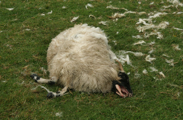 Mutilation de moutons à Shrewsbury Mute-mouton-gb-01d-1b34b57