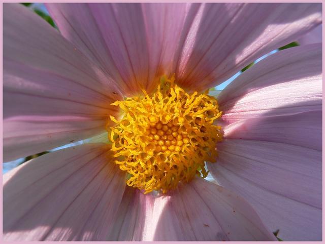 Dahlia imperialis - Page 3 P1170248-15db9bd