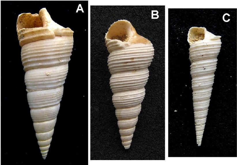 [résolu]Sigmesalia sp. &  Haustator sp. 3formes-1049241