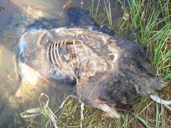 Argentine : Les mutilations de bétail en augmentation Chien-01-204a1c3