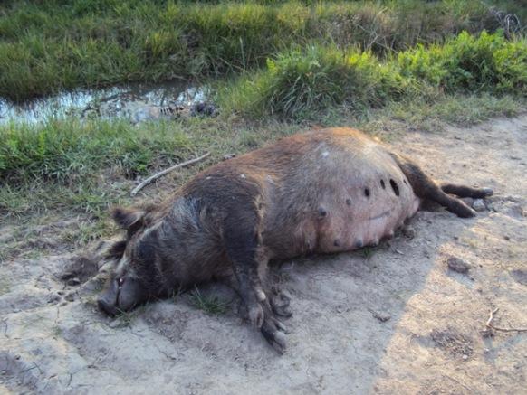 Argentine : Les mutilations de bétail en augmentation Cochon-204a1f1