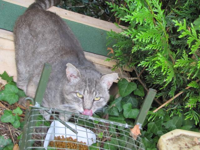 Spider chat tigré gris mâle FIV+ de 08/2005 - dpt 56 Img_0046-1e31780