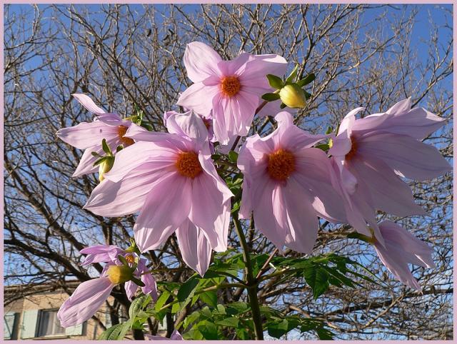 Dahlia imperialis - Page 3 P1170243-15db9b5