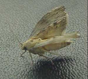 le geckos mange Teigne-de-ruche-volante-c98210