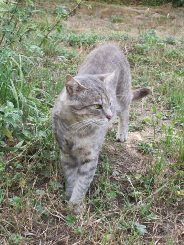 Spider chat tigré gris mâle FIV+ de 08/2005 - dpt 56 Img_0270-1eb8c8e