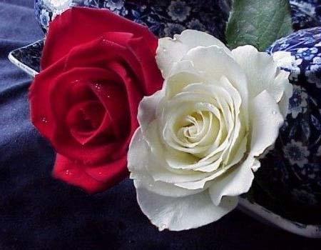 mon nathan ange etoile de ma vie Rose-blanc-rouge-882c6c