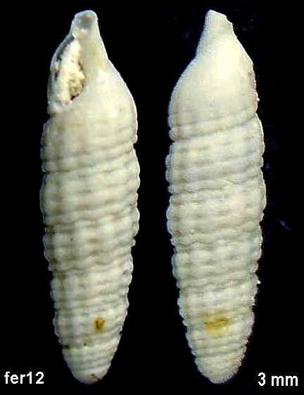 [résolu] Cyrbasia pupina (DESHAYES, 1864) Fercourt12-12c40ac