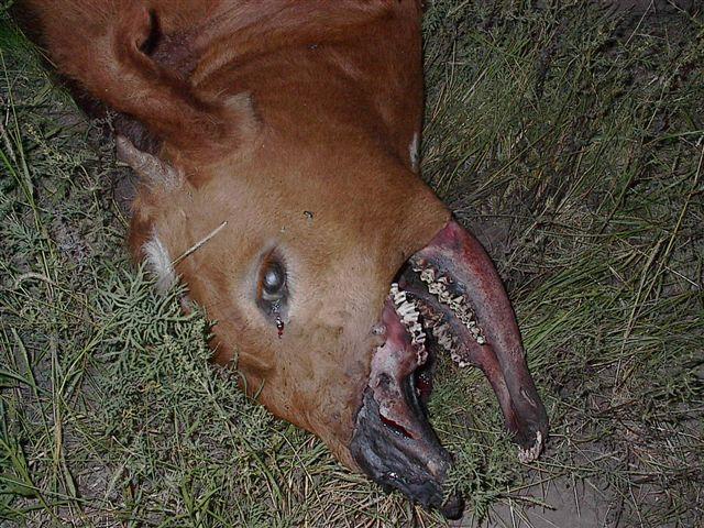 Mutilation d'un veau, 28.03.09 (Argentine) Mutes-2009-04a--cfb442