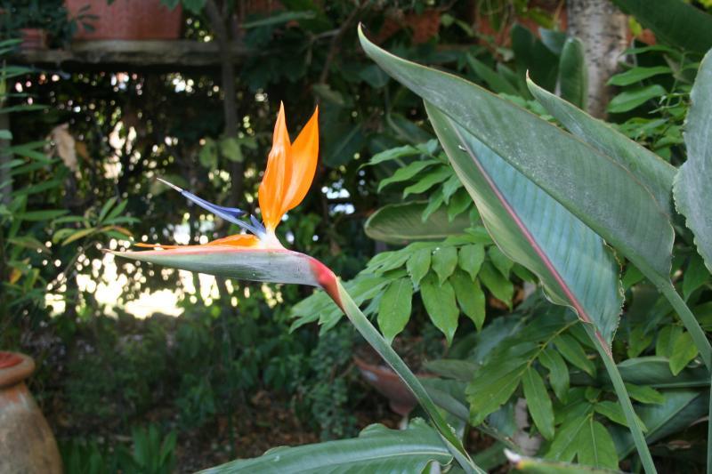 Bonne surprise, la toute première fleur de Strelitzia reginae Strelitzia-reginae-oct-2010-2196eb8