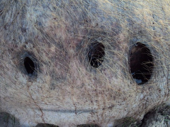 Argentine : Les mutilations de bétail en augmentation Cochon3-204a21e
