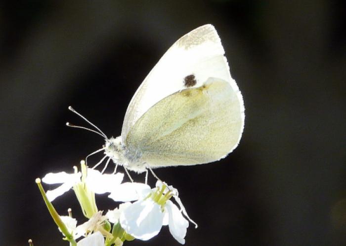 Papillon Ppl-28039ee