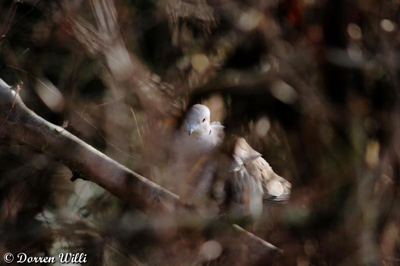 tourterelle turques ( 22 février 2012 ) Dpp_-melange---0006-31df0c9