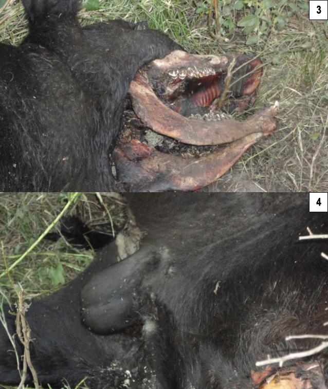 Argentine, deux nouveaux cas de mutilations. P000a-2919639