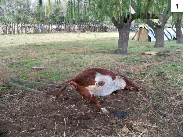 Argentine, deux nouveaux cas de mutilations. P001-2919681