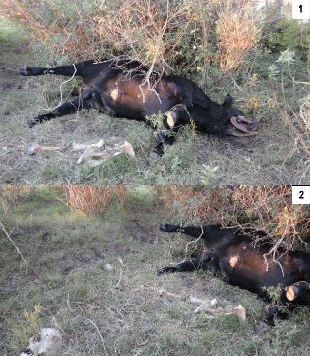 Argentine, deux nouveaux cas de mutilations. P000-291961c