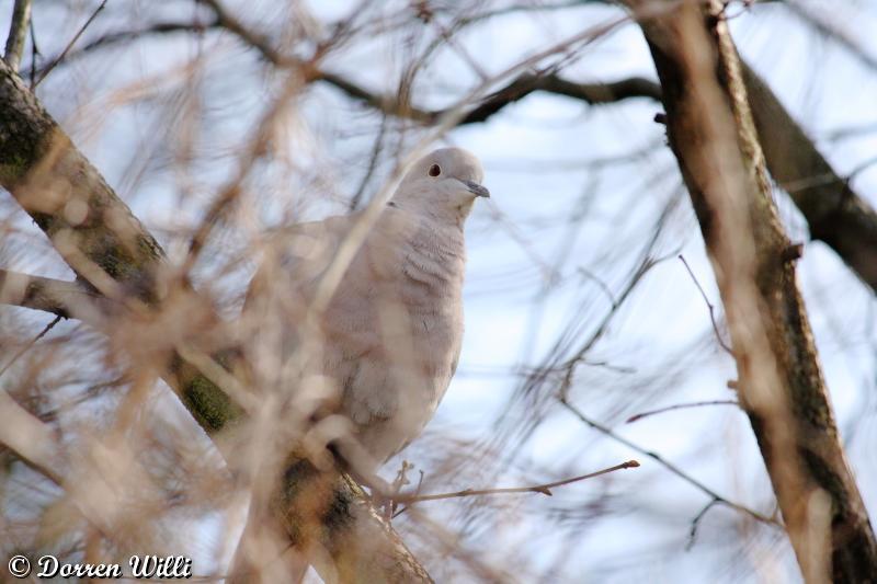 tourterelle turques ( 22 février 2012 ) Dpp_-melange---0003-31df0bb