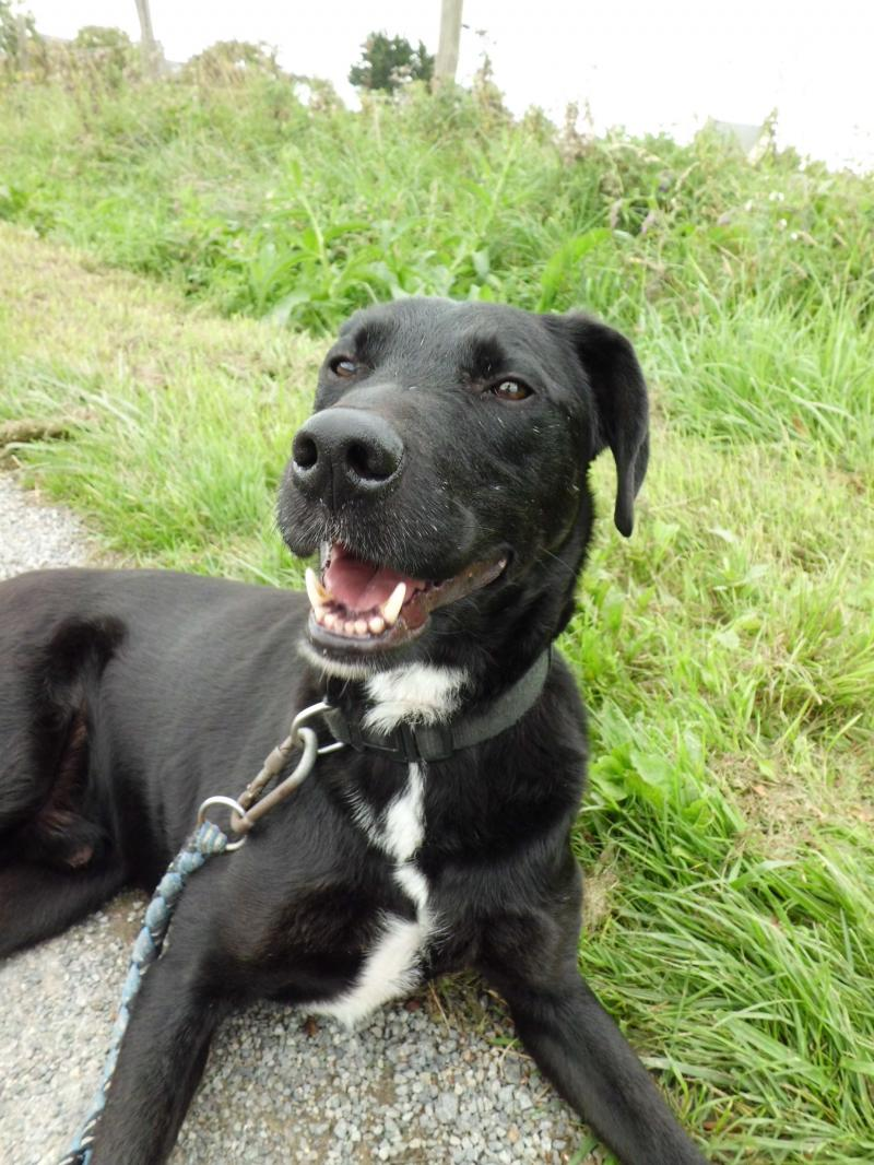 NECRO  -  croisé Labrador noir 10 ans  (8 ans de refuge) -  SPA  DE  CHATEAU  MALO  (35) Cimg0106-2f0b16f