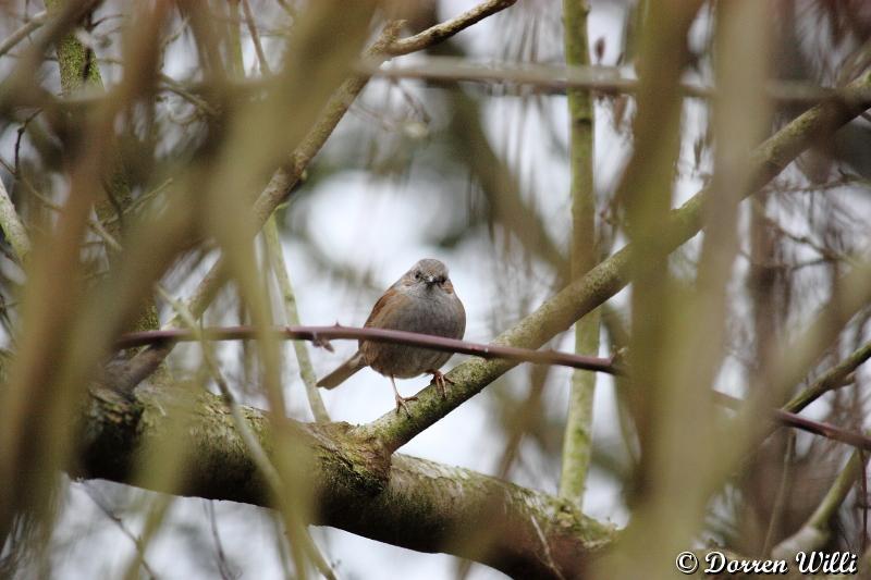 Accenteur mouchet entraint de me surveiller ( 1er mars 2012 ) Dpp_-m-langes---0013-322a59e