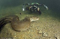 Foto Anaconda Super Besar Di Brazil Asqmw4763726_t
