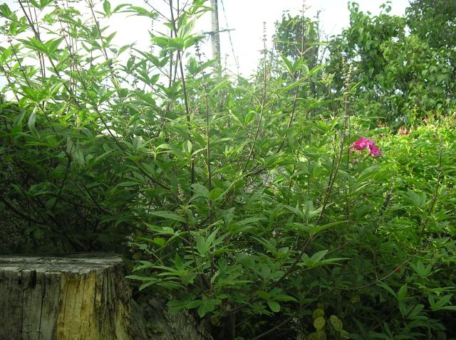 Vitex Agnus Cactus !!! Juillet-2012-001-36465e4