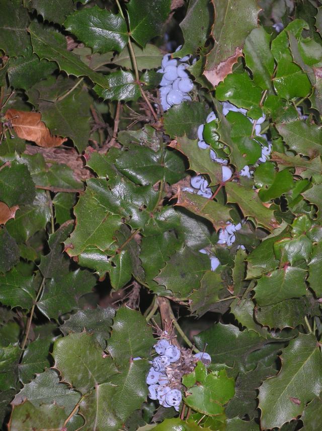 Les baies en automne (plantes sauvages ou cultivées) - Page 2 Imgp6782-39cda87