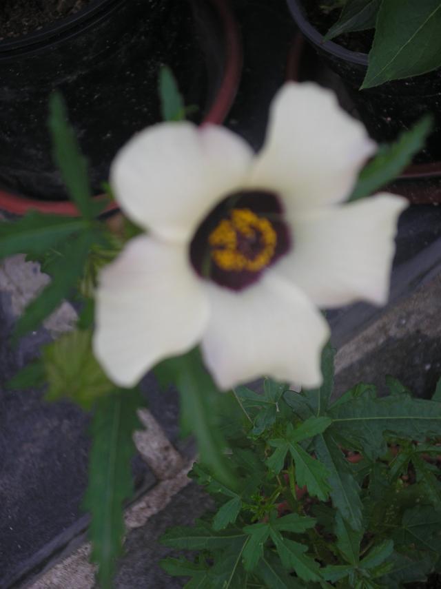 hibiscus trionum A-ut-2012-025-37857f1