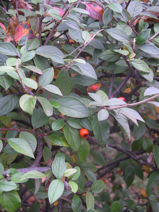 Les baies en automne (plantes sauvages ou cultivées) - Page 2 Imgp6797-39cdac8