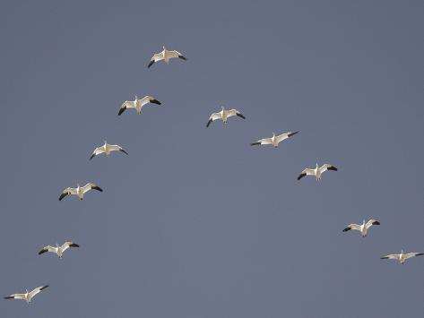 Guitars?....Let's see 'em! Arthur-morris-snow-geese-flying-in-v-formation