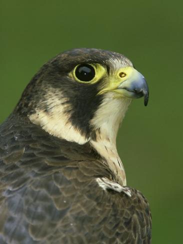 Falconiformes. sub Falconidae - sub fam Falconinae - gênero Falco - Página 2 Mark-hamblin-peregrine-falcon-falco-peregrinus-close-up-portrait-of-female-captive