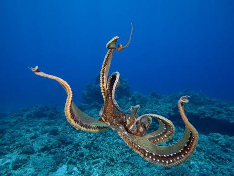 Hobotnica (Octopus cyanea) David-fleetham-day-octopus-octopus-cyanea-hawaii-usa