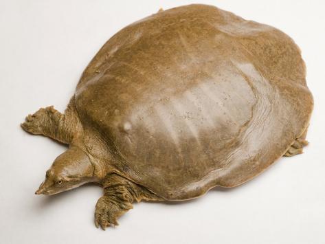 Qu'est ce? Martin du 31 Août n°2 trouvé par Ovésienne - Page 2 Joel-sartore-smooth-softshell-turtle-apalone-mutica
