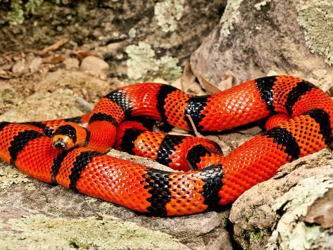animal de Martin du 20 novembre trouvé par  Martine - Page 3 David-northcott-honduran-milk-snake-tangerine-phase-lampropeltis-triangulum-hondurensis-central-mexico