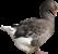 Гуси, Geese