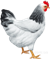 Кури, Chickens