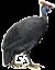 Цесарки, Guinea fowl