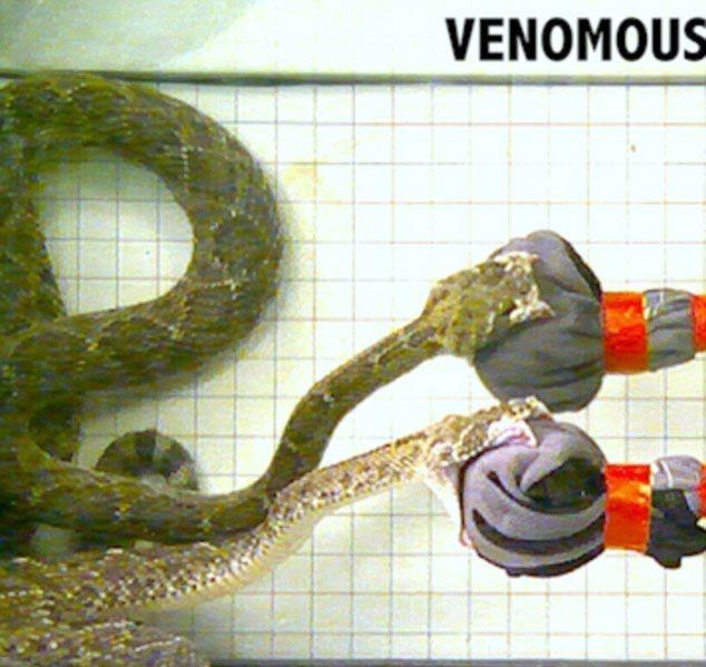 Tốc độ mổ của rắn là bao nhiêu- Trung bình từ 0,06s - 0,15s (lấy trung bình 0,1 s)  nhanh hơn 1 chớp mắt của con người 20160316151620-ran2