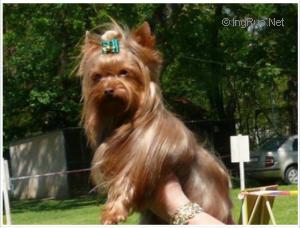 Mutaciones en el Yorkshire terrier Med_529a5f3932c4a