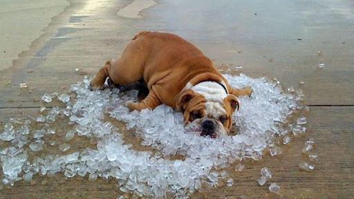 БРАХИЦЕФАЛИЧЕСКИЙ СИНДРОМ Bulldog-on-ice1.1409653704