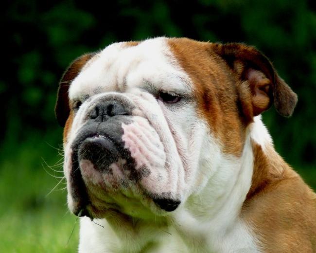 БРАХИЦЕФАЛИЧЕСКИЙ СИНДРОМ Anglijskij-bulldog-foto.1409652073