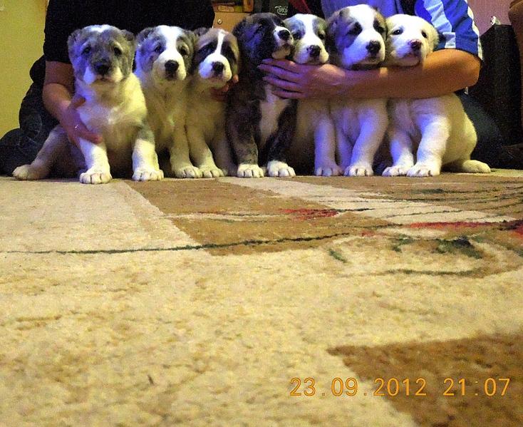 продаю щенков САО от Алдаяра из Клови и Яз 6564007