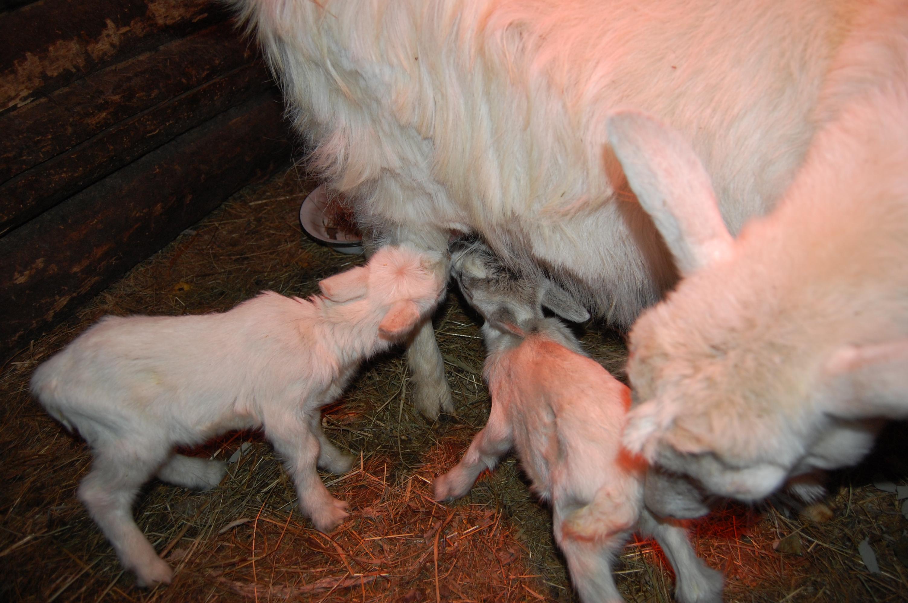 Почему Козел Похудел. А не слишком ли растолстела моя коза? BCS или Body Condition Score