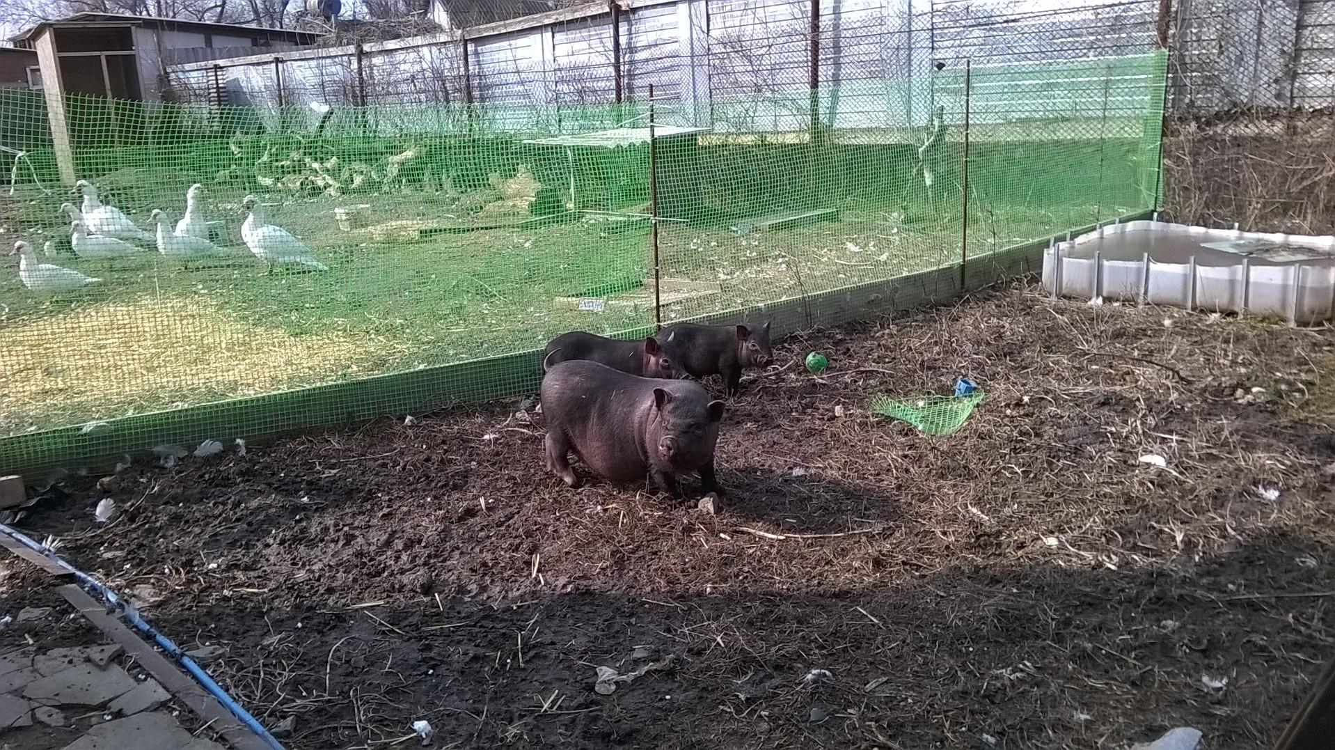 кормление - Вьетнамская вислобрюхая порода свиней (содержание, кормление и разведение) 0015879001456253381