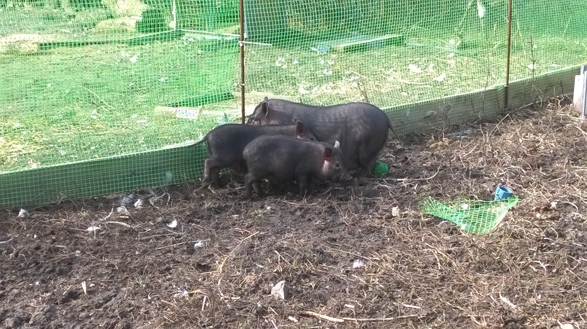 кормление - Вьетнамская вислобрюхая порода свиней (содержание, кормление и разведение) 0837863001456253380