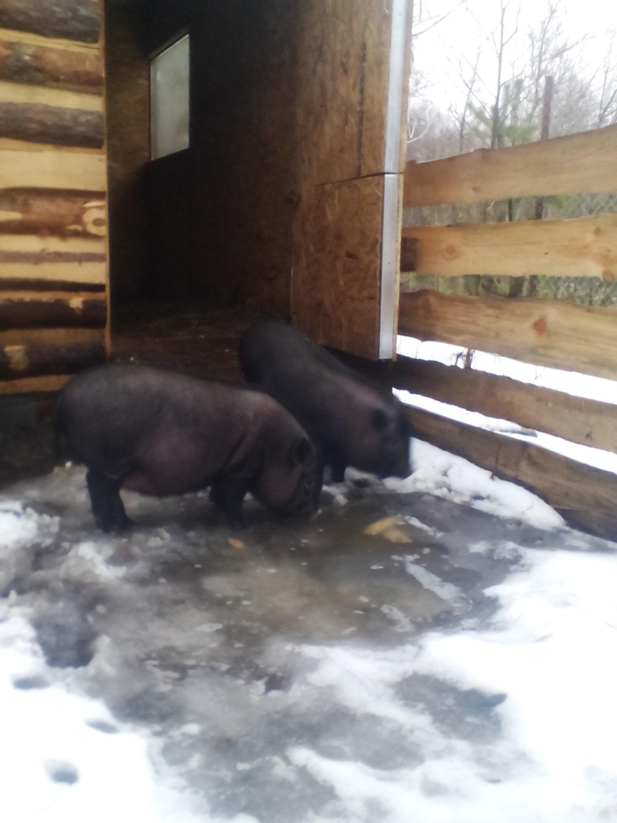 кормление - Вьетнамская вислобрюхая порода свиней (содержание, кормление и разведение) 0320728001456275572