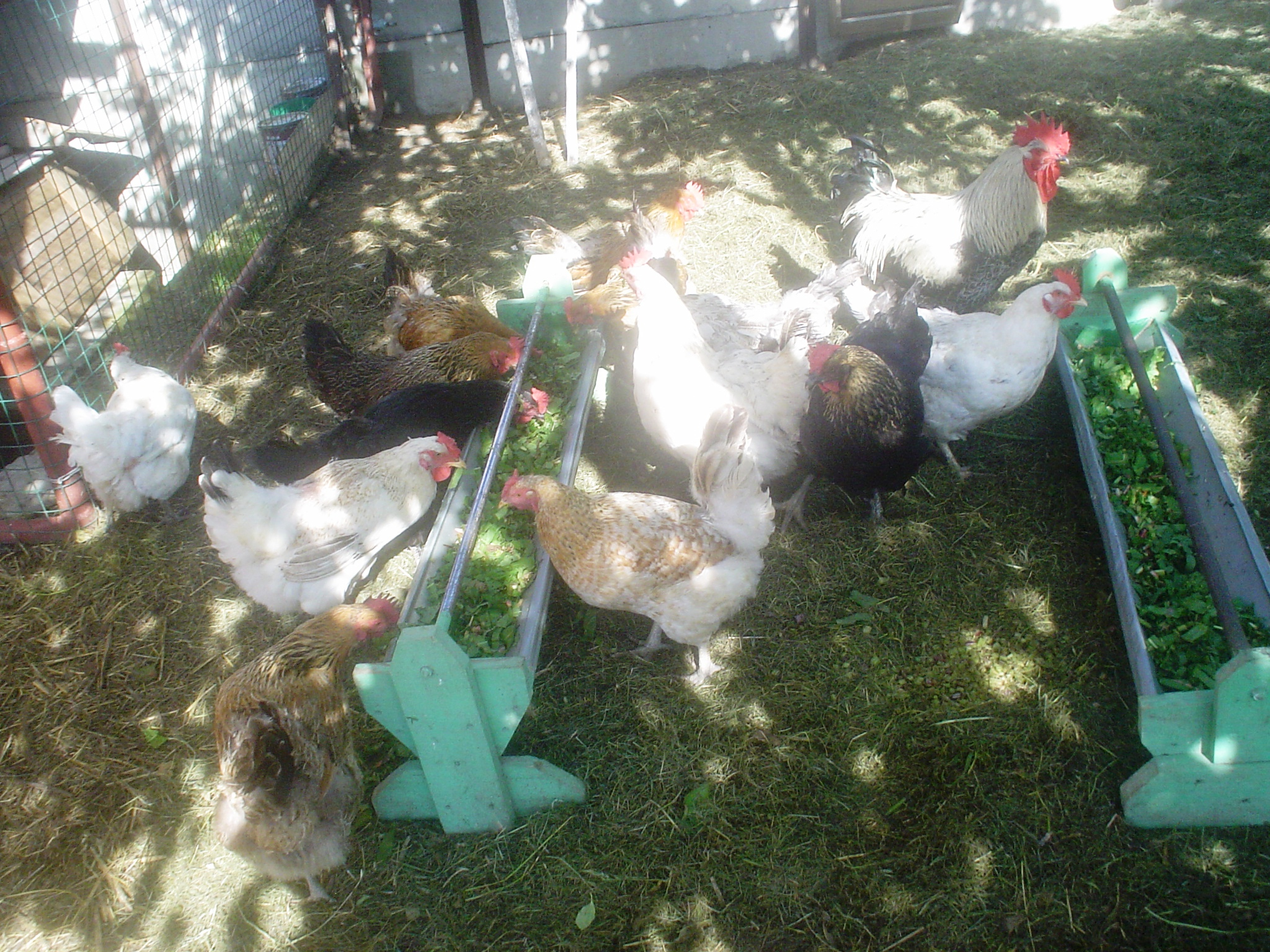 кормление - Кормление и уход за цыплятами и птицей в домашних условиях 0684674001464864536