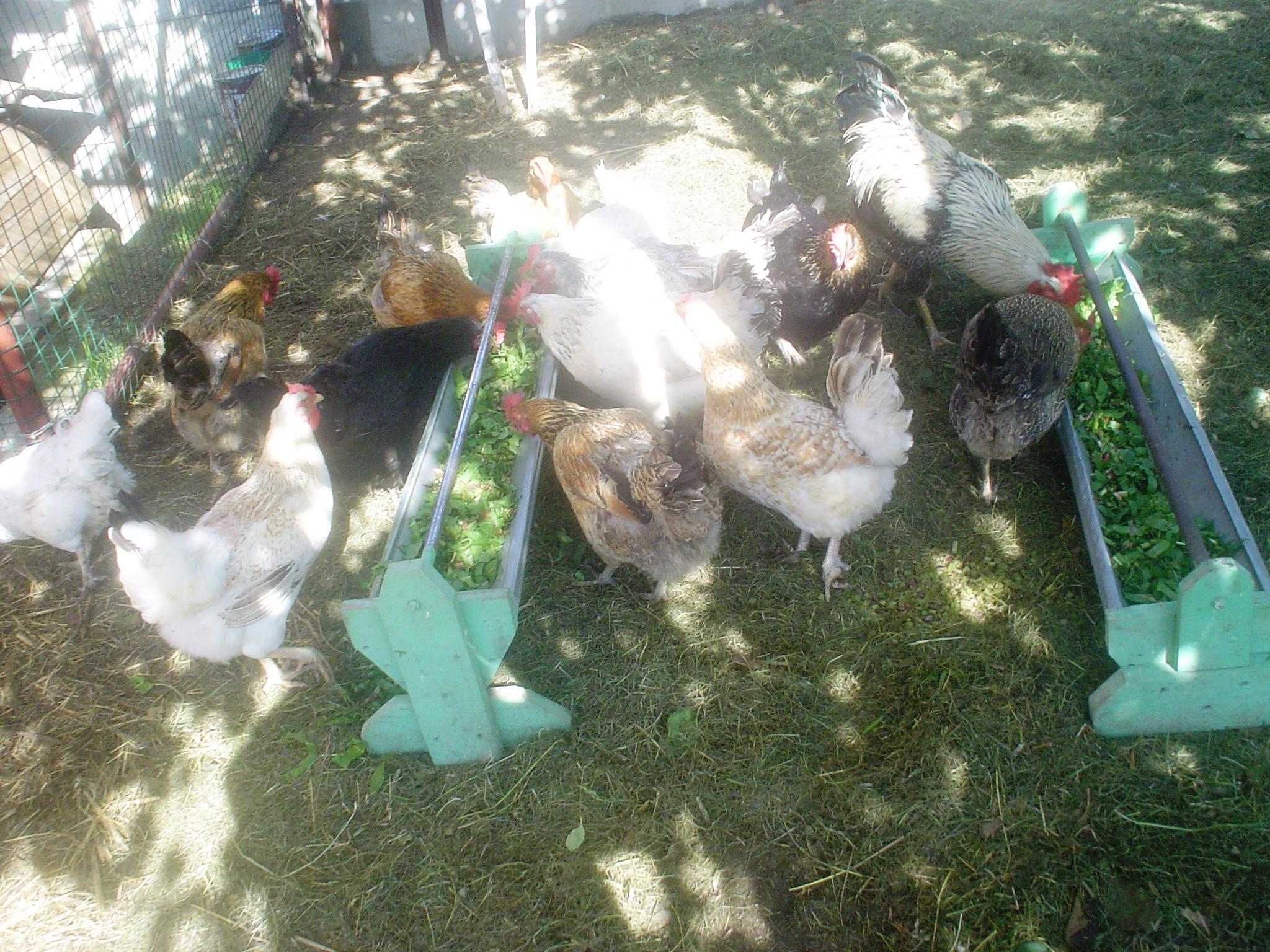 кормление - Кормление и уход за цыплятами и птицей в домашних условиях 0693537001464864491