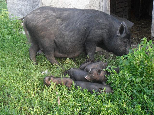 кормление - Вьетнамская вислобрюхая порода свиней (содержание, кормление и разведение) - Страница 3 0663782001470641468