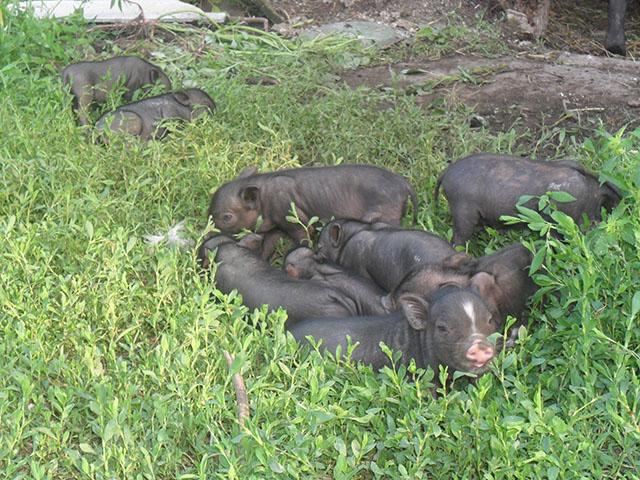кормление - Вьетнамская вислобрюхая порода свиней (содержание, кормление и разведение) - Страница 3 0718739001470641468